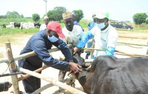 The Artificial Insemination & Dairy Specialist, tagging a cow that has been inspected and cleared for artificial insemination.